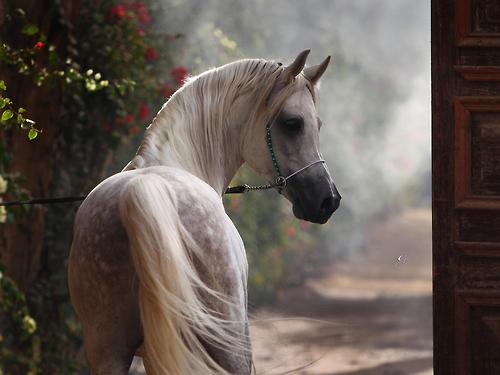 Arabian horse head pictures